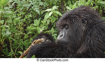 Mountain gorilla feeding in the forest, closeup - Side view...