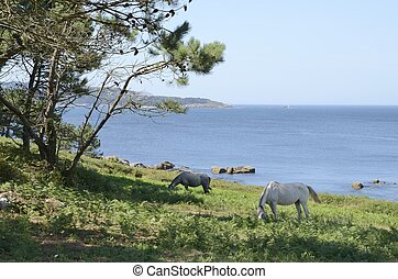 Horses grazing next to the coastline in the bay of Bueu, in...