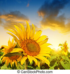 Beautiful sunflower on the field at sunset.