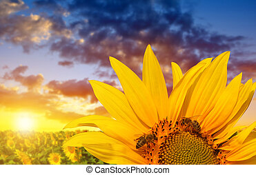 Sunflower with bee on the field at sunset.