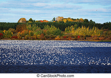 Large flock of snow geese on water