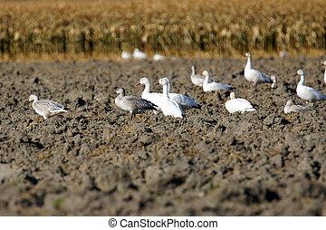 Snow geese in plowed field