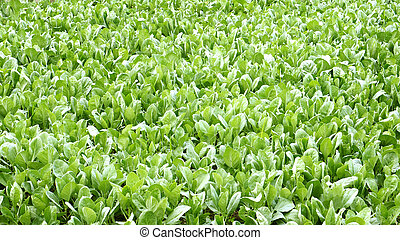 Kale plant crop to neary for background - Kale plant crop to...