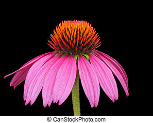 Purple Coneflower, Echinacea - Purple coneflower, Echinacea,...
