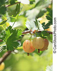 Gooseberry on a branch in a summer garden