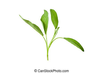 Sage plant on a white background.