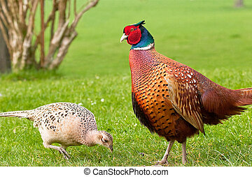 Male pheasant admiring pecking female