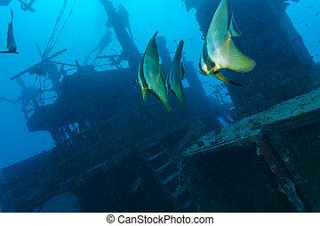 School of batfish near a sunken ship in the Maldives -...