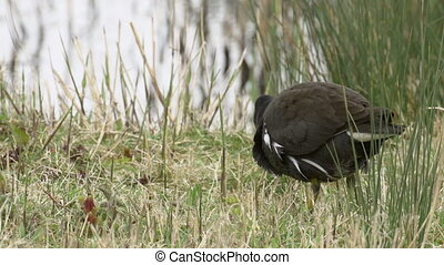 Close-up of a Moorhen rail bird (Ga