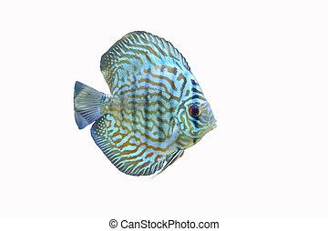 Blue Discus Tropical Aquarium Fish 2