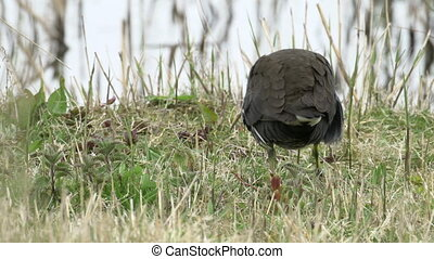 Close-up of a Moorhen rail bird (Gallinula chloropus)...
