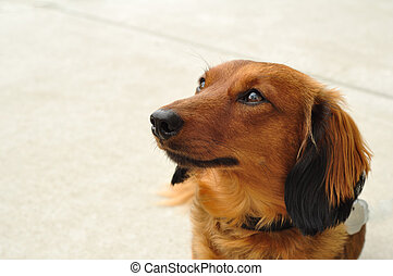 Red Long-Haired Dachshund - Portrait of Red Long-Haired...