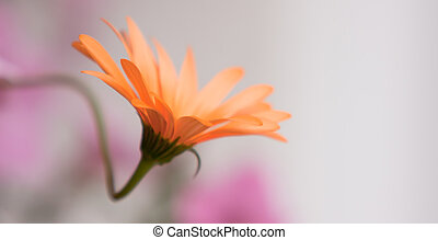 A beautiful African Daisy in soft light