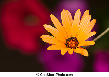 A colorful African Daisy