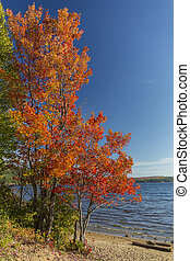 Brilliant Sugar Maple on a Lakeshore - Ontario, Canada -...