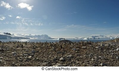 Chinstrap penguins on the nest timelaps - Chinstrap penguin...