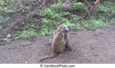 monkey grooming another one lie on the road