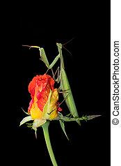 Green Praying Mantis on a Rosebud - Green Praying Mantis,...