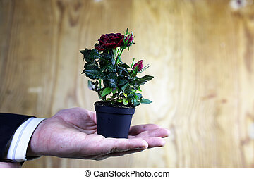 Rose in a hand man