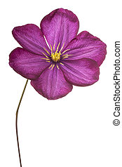 clematis - Studio Shot of Fuchsia Colored Clematis Flower...