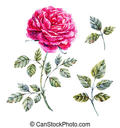 Watercolor hand drawn rose - Beautiful illustration with...