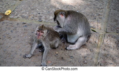 Look of monkey and tender grooming. Monkey forest. Ubud....