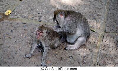 Look of monkey and tender grooming.