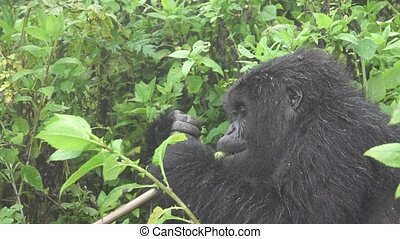 Moountain gorilla eating with flat color profile slow motion...