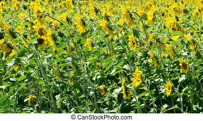Field of sunflowers - Beautiful landscape sunflower field....
