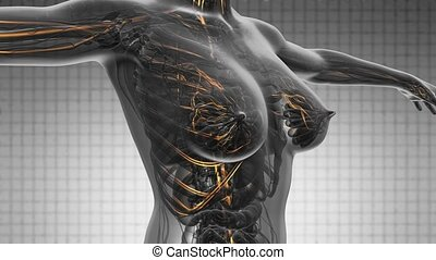 loop science anatomy scan of woman heart and blood vessels...