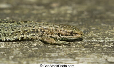 Close-up of a Common Lizard (Zootoc