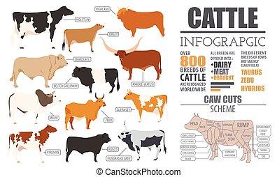 ganado, Crianza, infographic, plantilla, plano, diseño