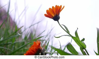 orange flower on the background of white sky bottom view of...