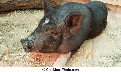 Feeding and communicates with black dwarf pig. - Feeding and...