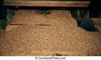 Sifted grain falling from old wooden sifting machine....