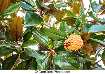 Magnolia grandiflora cone, Barcelona, Spainn