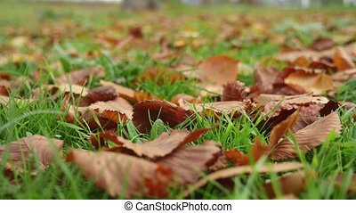 leaves lie on the green yellow grass lawn autumn nature...