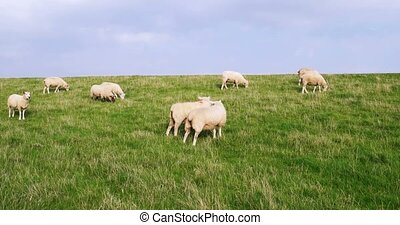 Sheep in Westerhever in Germany