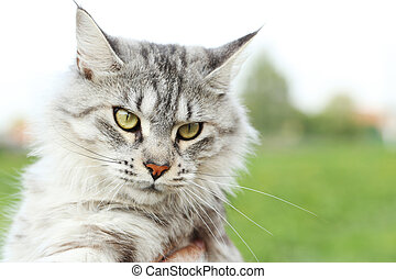 Maine coon cat outdoors, close up