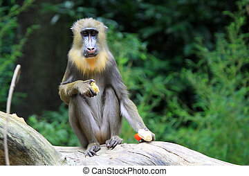 The Mandrill