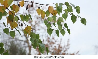 birch with yellow leaves hanging on a branch on a gray autumn sky nature landscape