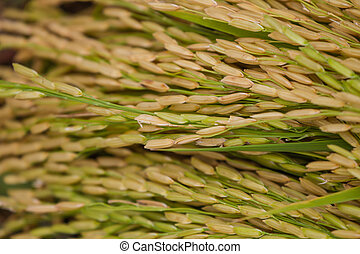 Close-up of green rice field,Rice Farm, Jusmine Rice