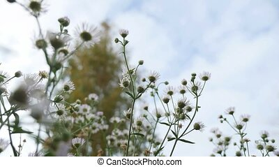 white wild flowers on the background of blue sky nature...