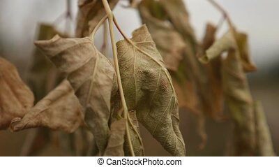 dry leaves maple hanging on a branch on a background of gray sky autumn nature