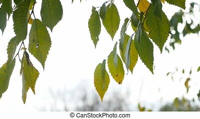yellow leaves of elm tree branch on a gray sky background...
