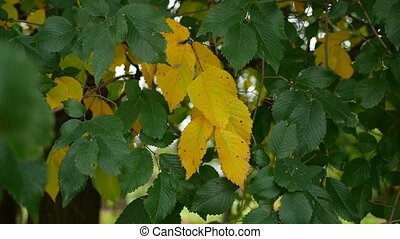 green yellow elm tree leaves nature autumn - green yellow...