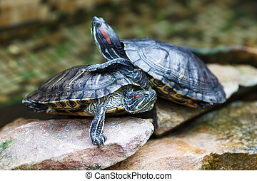 Trachemys scripta elegans. Decorative red-eared turtles are...