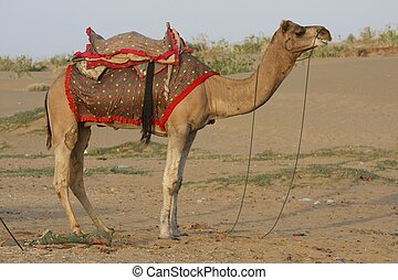 Camel in the desert in Rajasthan, India