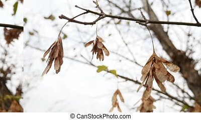 maple dry leaves helicopter branch tree autumn nature -...