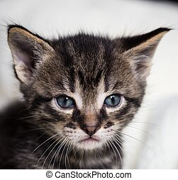 Few weeks old tabby tomcat with blue eyes